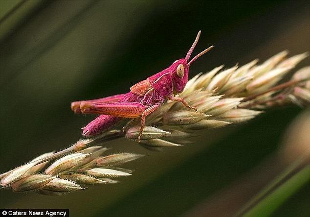 Гламурный кузнечик розового цвета