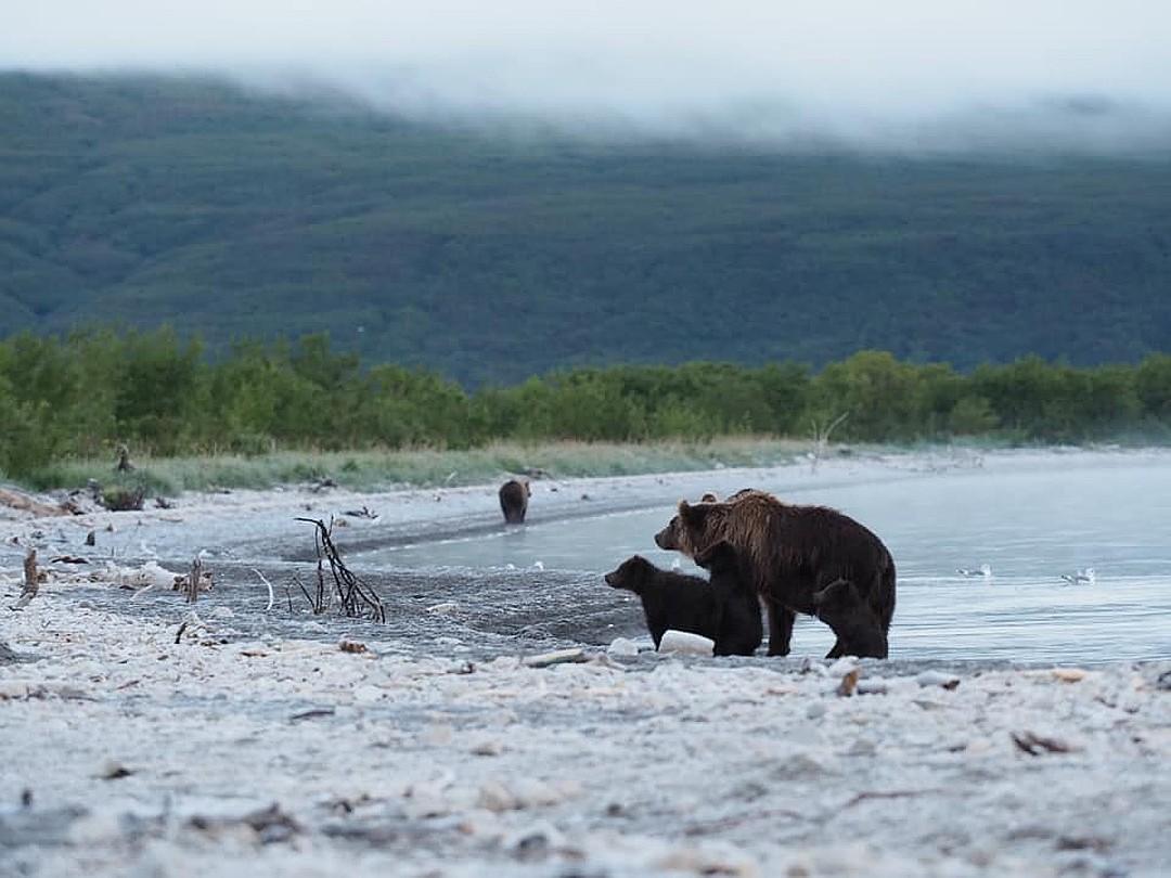 Медведица сперва осторожно подходила к Кнопке, боялась, что, спасая одного, она может потерять двух оставшихся зверят. ФОТО: Владимир Омелин.