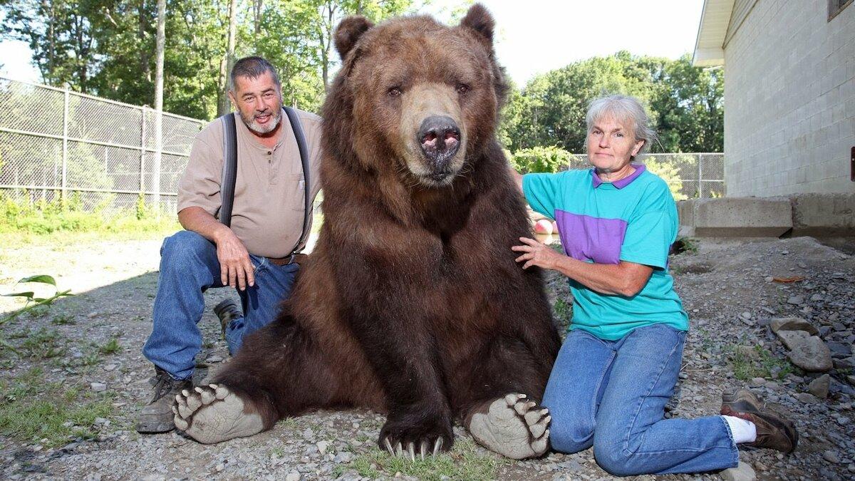 имплант гризли медведь фото с человеком эксперимент
