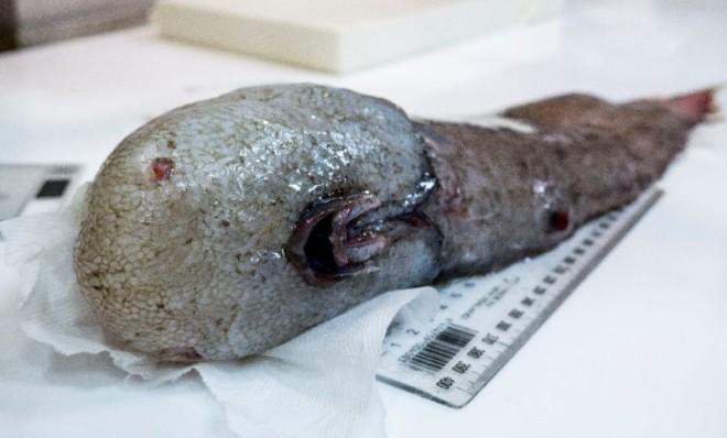 В бездне у берегов Австралии нашли вымершую безликую рыбу