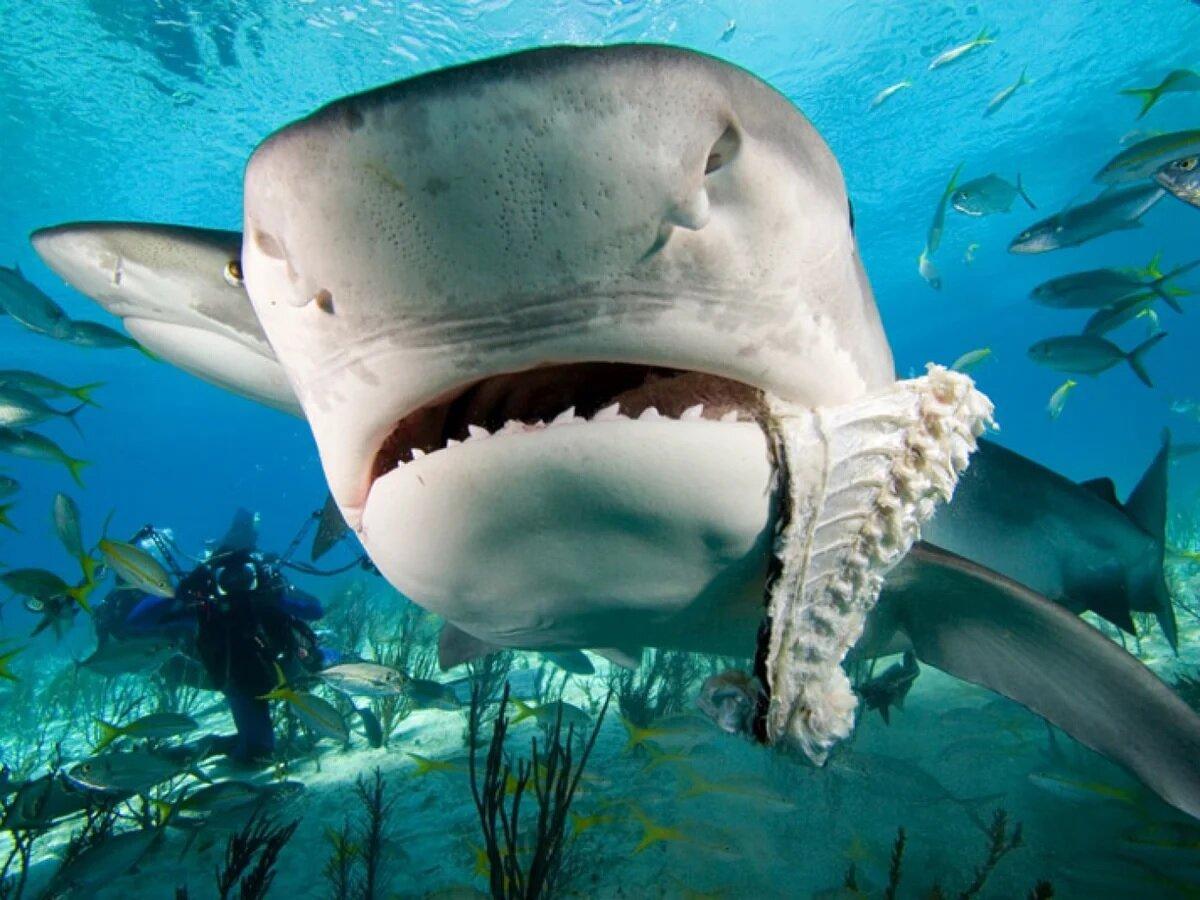 Тигровая акула, одна из 5 самых опасных акул в мире