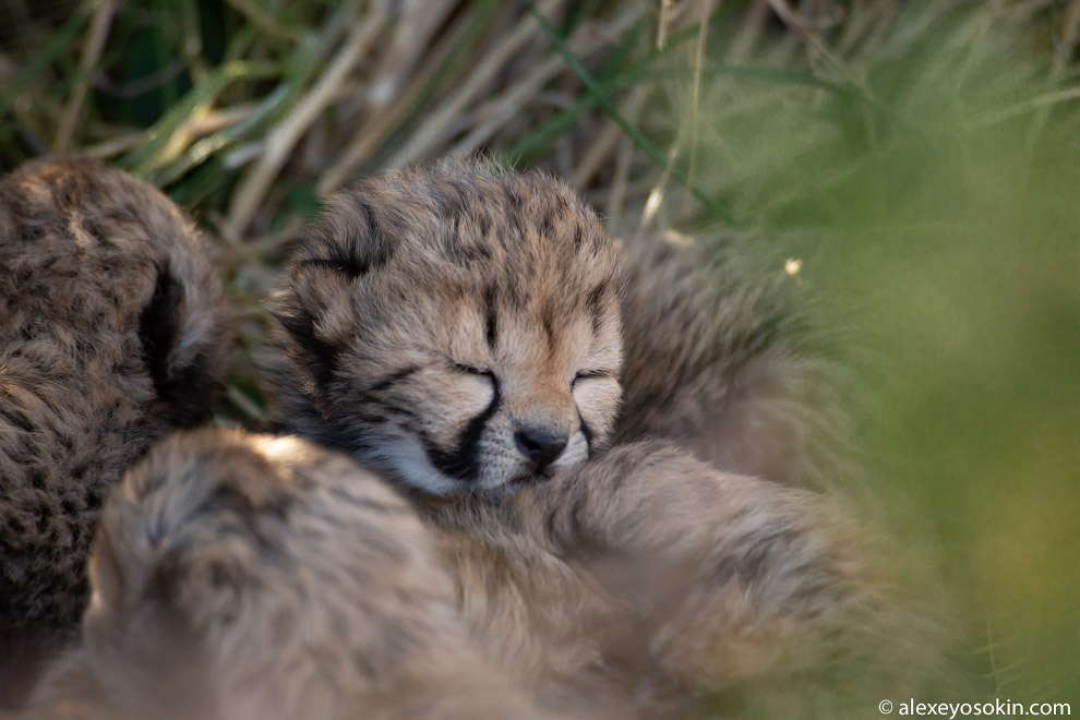Малыши-гепардики в объективе