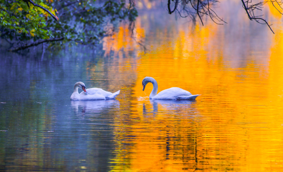 Swans in Autumn by John S on 500px.com