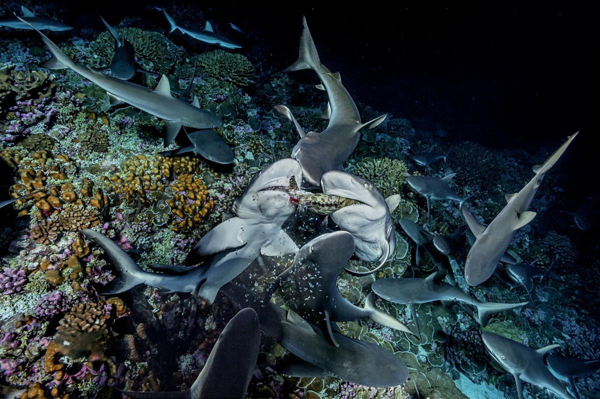 Голодные акулы и нерестящиеся груперы. Фотограф Лоран Баллеста