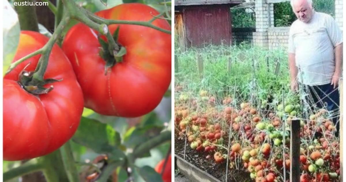 Вот 6 лучших удобрений для помидоров с грядки