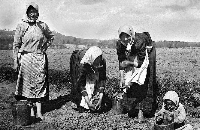 «Дьявольское яблоко»: почему русские крестьяне не хотели есть картошку жизнь,история,картошка,Россия