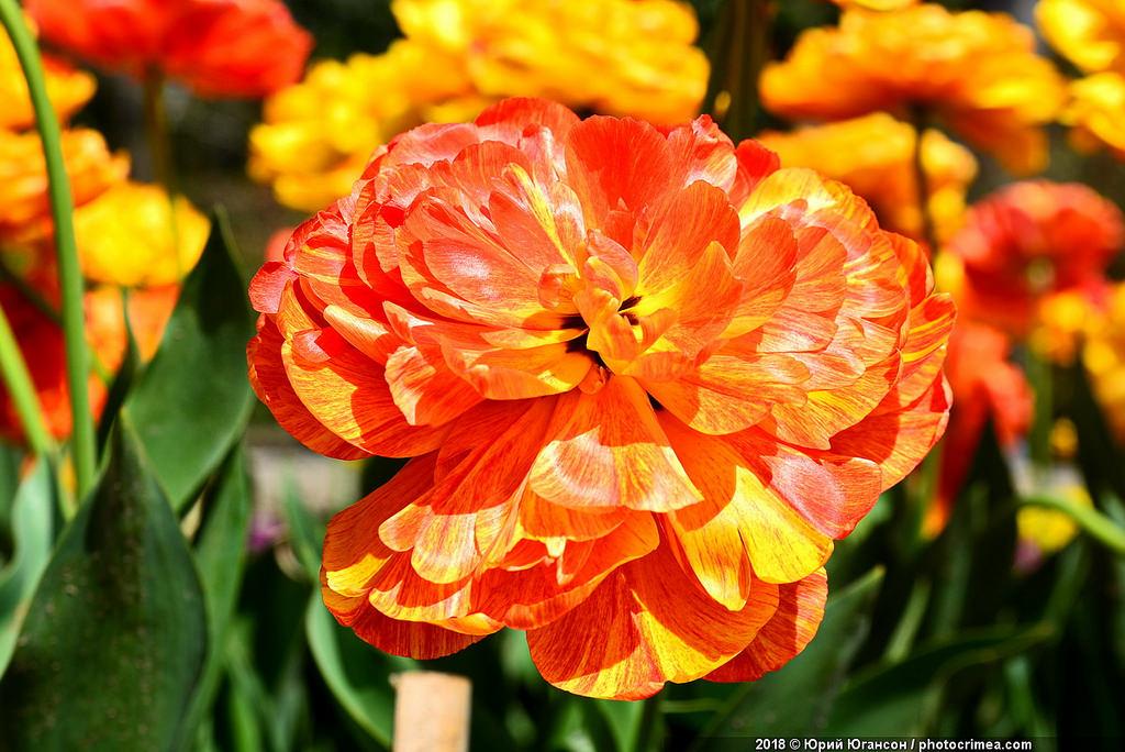 Тюльпаны сводят с ума!