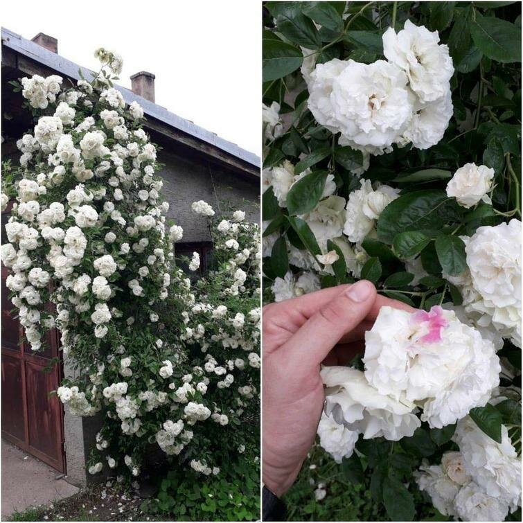 """""""У моей великолепной белой розы есть один розовый лепесток"""" в мире, вещи, подборка, познавательно, удивительно"""