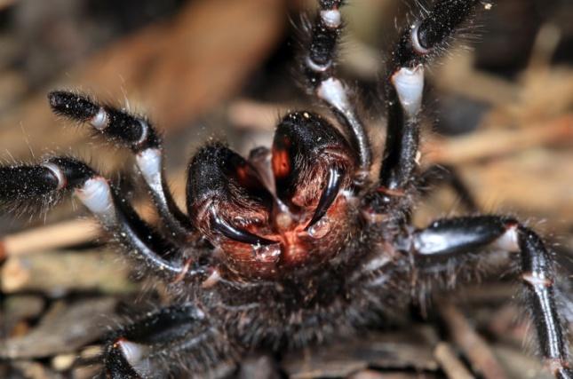 Создание из кошмаров. Самый большой паук Австралии