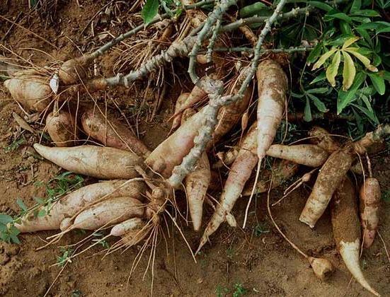 Эринги, батат, киноа: что это и с чем это едят Экзотические растения, природа, съедобные растения