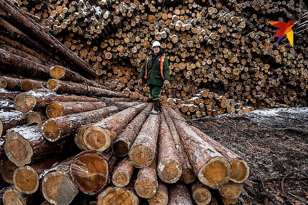 Громкий скандал вокруг леса разгорается в Красноярском крае Фото: Виктор ГУСЕЙНОВ