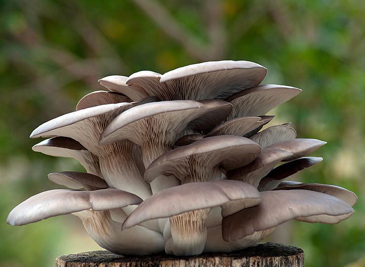 Как вырастить грибы вешенки