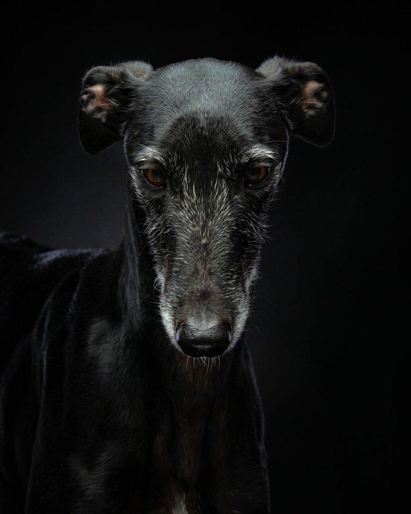 5. Порода, борзая, гальго, животные, испания, собака, спасение, фотография