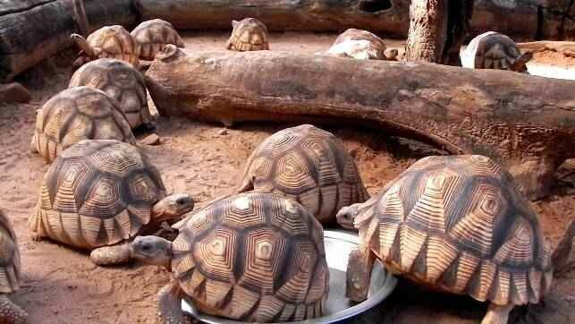 Животные занесенные в Международную Красную книгу: Мадагаскарская клювогрудая черепаха (Astrochelys yniphora) дикая природа, животные, красная книга, редкие животные