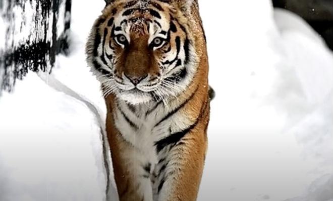 Тигр явно пришел к человеку за помощью