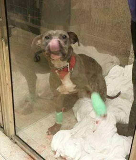 Владелец жестоко избил питбуля. Полицейские сделали все, чтобы пес вновь почувствовал себя в безопасности