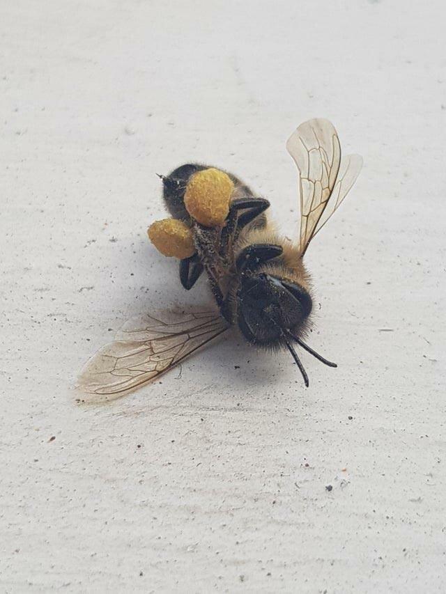 Эта пчела умерла с задними лапами, полными пыльцы в мире, вещи, подборка, познавательно, удивительно