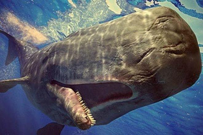 Кашалот: кит, который вышел на охоту