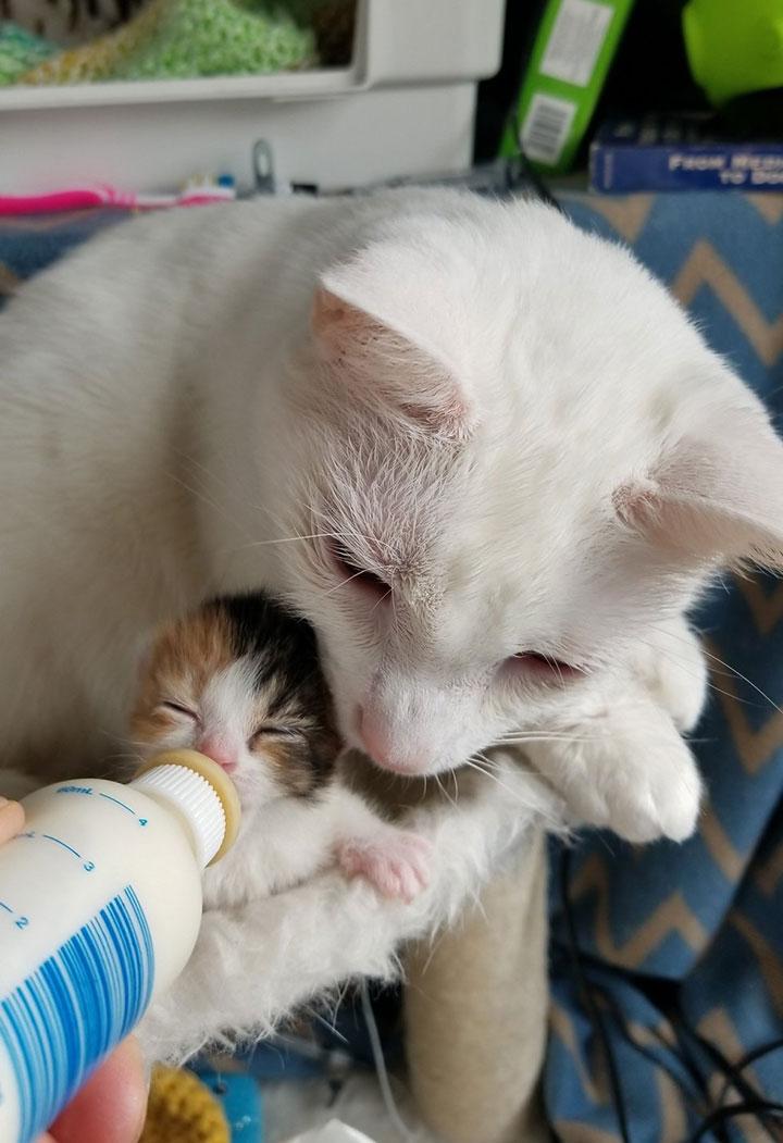 Кот заменяет отца новорождённой кошечке, потерявшей всю семью, и помогает людям спасти её жизнь