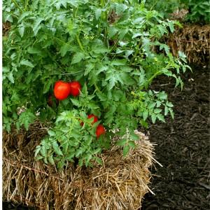 выращивание томатов на соломе