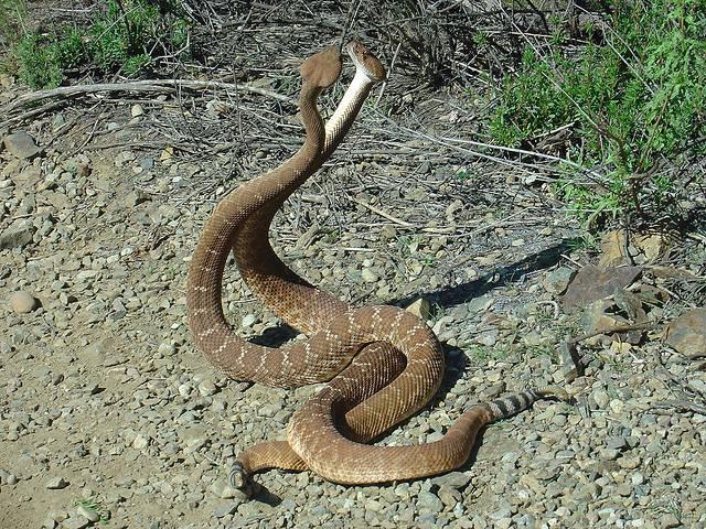 Свадьба змей