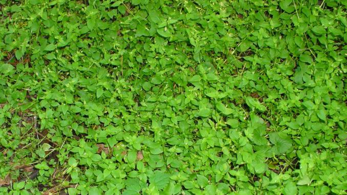 Мокрица — сорняк или лекарство?