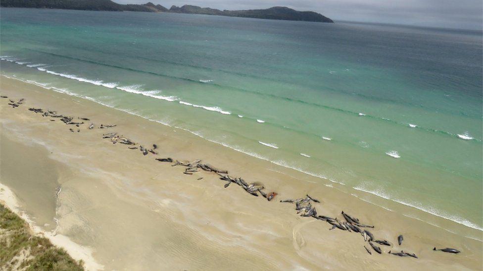 ″Я никогда не забуду их крики″: На берег Новой Зеландии выбросило 145 китов животные