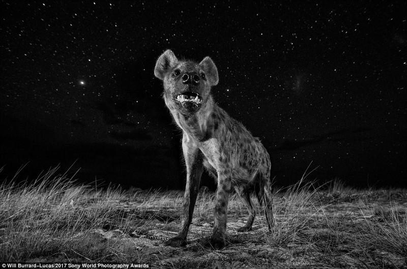 Ночной злодей. Гиена в саванне Замбии искусство, конкурс, красота, фото