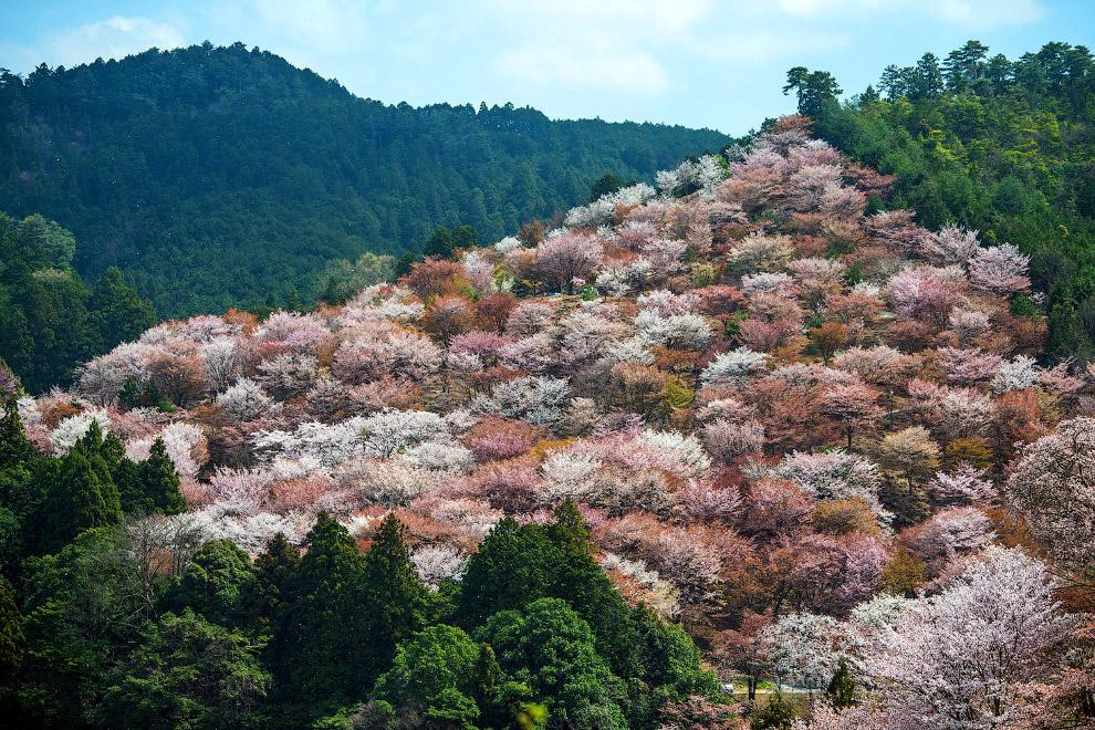 Тысяч вишневых деревьев в горах в Йошино, Япония