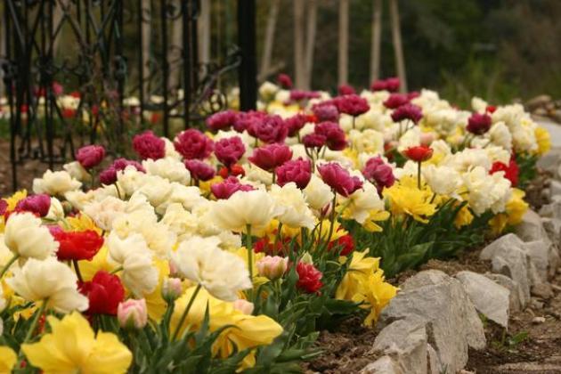 5c1626a6e6fa Махровые тюльпаны, посадка и уход