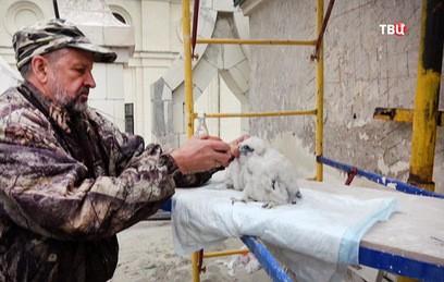В здании МГУ на Воробьевых горах вывели птенцов соколов-сапсанов