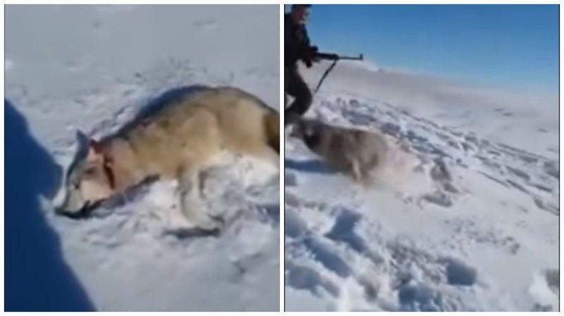 """В Казахстане волк """"восстал из мёртвых"""" и бросился на охотника"""
