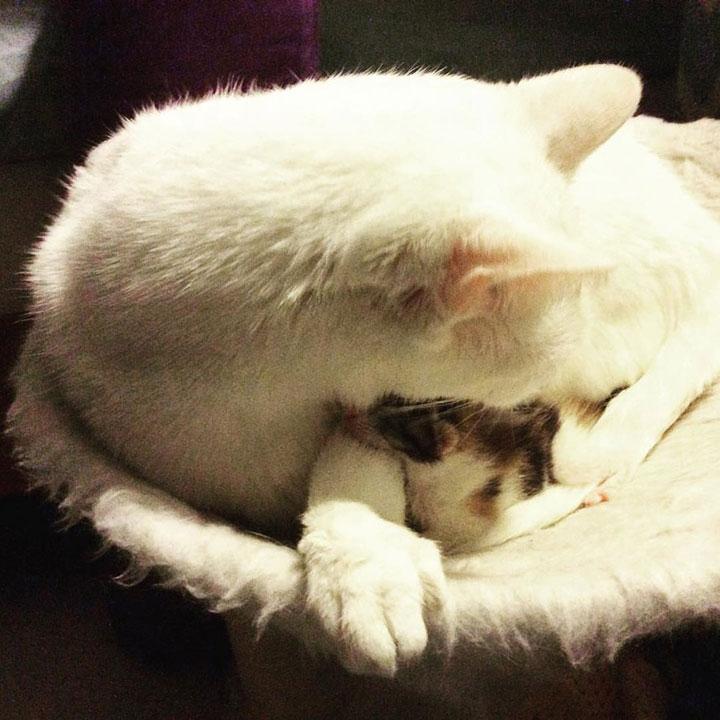Кот заменяет отца новорождённой кошечке, потерявшей всю семью, и помогает людям спасти её жизнь супер