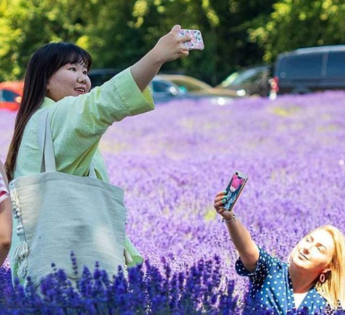 «Туристы, не приходите»: Ферма, выращивающая лаванду, столкнулась с гипер-популярностью лаванда,Англия,туризм