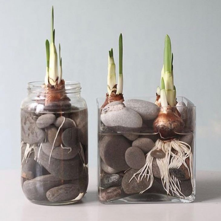 Зимой, когда так скучаешь за весенними запахами и красками, можно вырастить тюльпаны и нарциссы в вазе, в воде без почвы