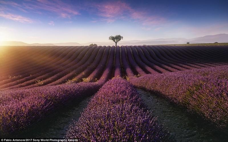 Лиловый туман. Цветение лаванды в Провансе, Франция искусство, конкурс, красота, фото