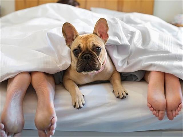 7 неожиданных причин, чтобы взять собаку к себе в кровать!