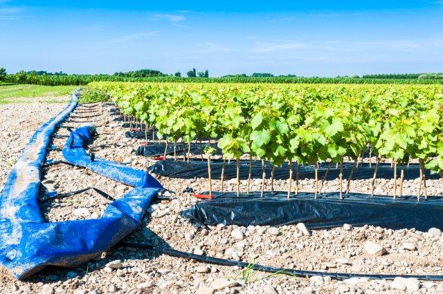 Полив виноградника