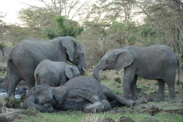 Удивительно трогательно: слонята не покидали маму в последний день ее жизни