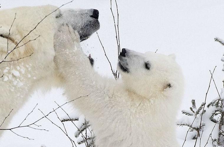 Очаровательный белый медвежонок с мамой-медведицей в финском парке