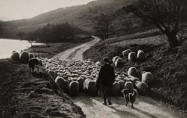 Мужчина гонит отару овец с помощью своих собак в Шотландии, 1919 national geographic, неопубликованное, фото