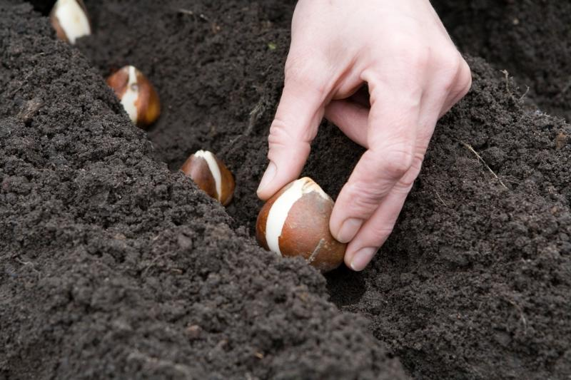 Правильная осенняя посадка тюльпанов