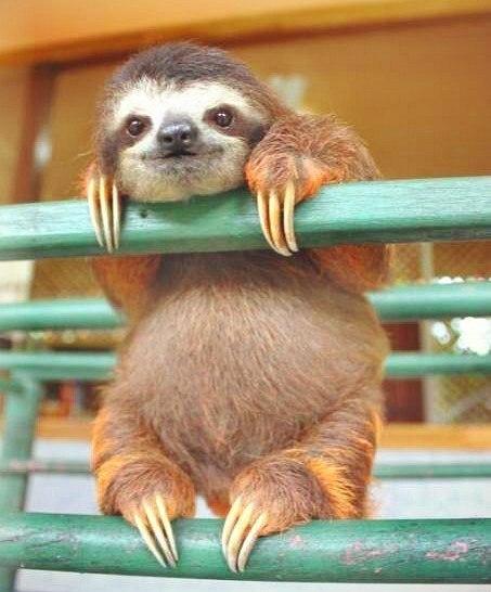 10 фактов о ленивцах