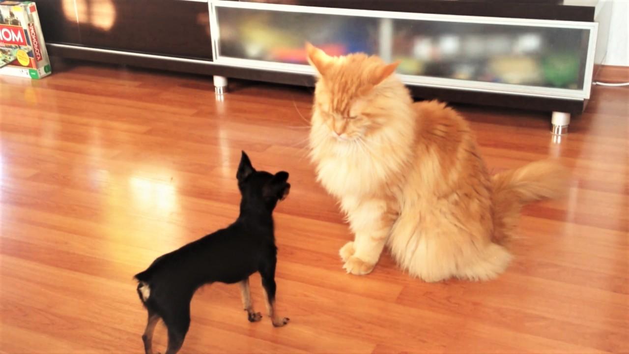 Кот пианист и собака пол протирака