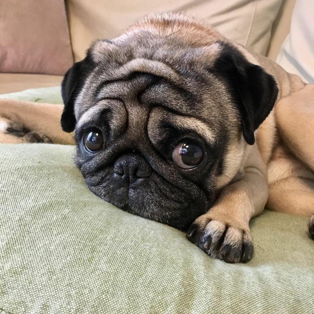 3 породы собак, которые остаются щенками на всю жизнь! домашние животные,наши любимцы