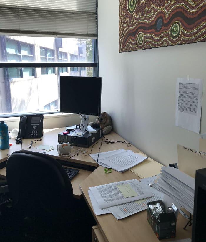 Девушка заметила, что в её офисе кто-то есть. А за компьютером прятался испуганный опоссум…