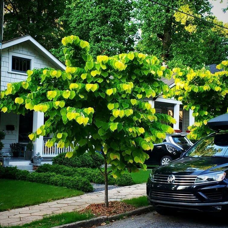 То, как листья растут на этом дереве, делает его заблюренным в мире, вещи, подборка, познавательно, удивительно