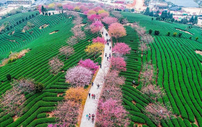 Весна пришла, но не к нам. В Китае расцвела сакура: 15 потрясающей красоты фото.