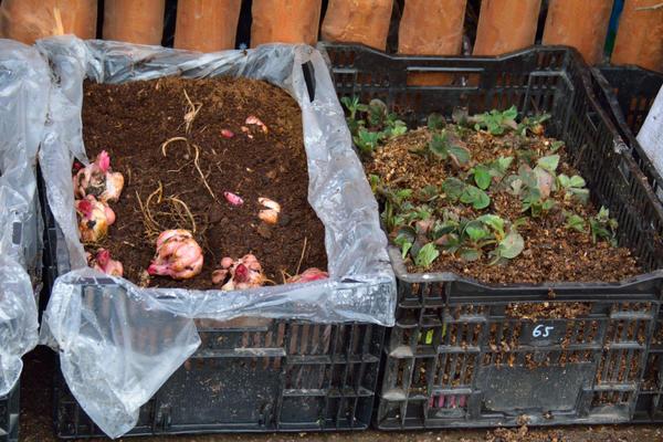 Для доращивания луковиц можно использовать ящики