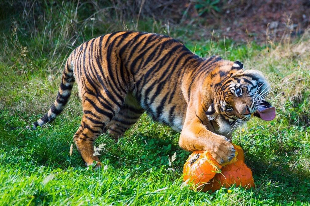 бровей прикольные картинки про тигров молода, красива амбициозна